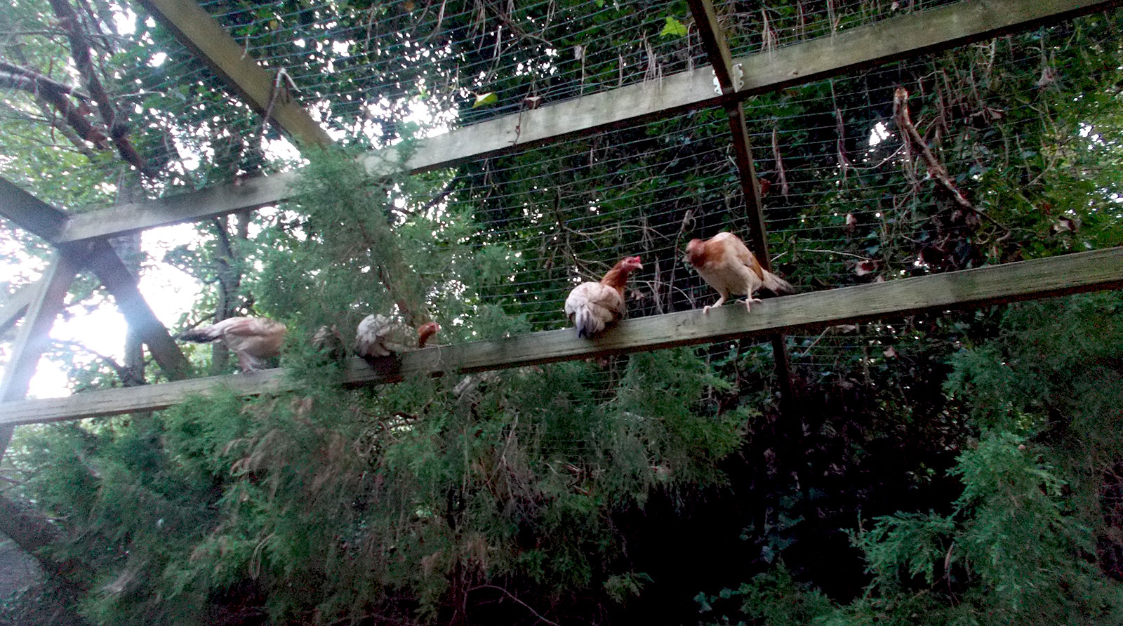hens perched on a high beam