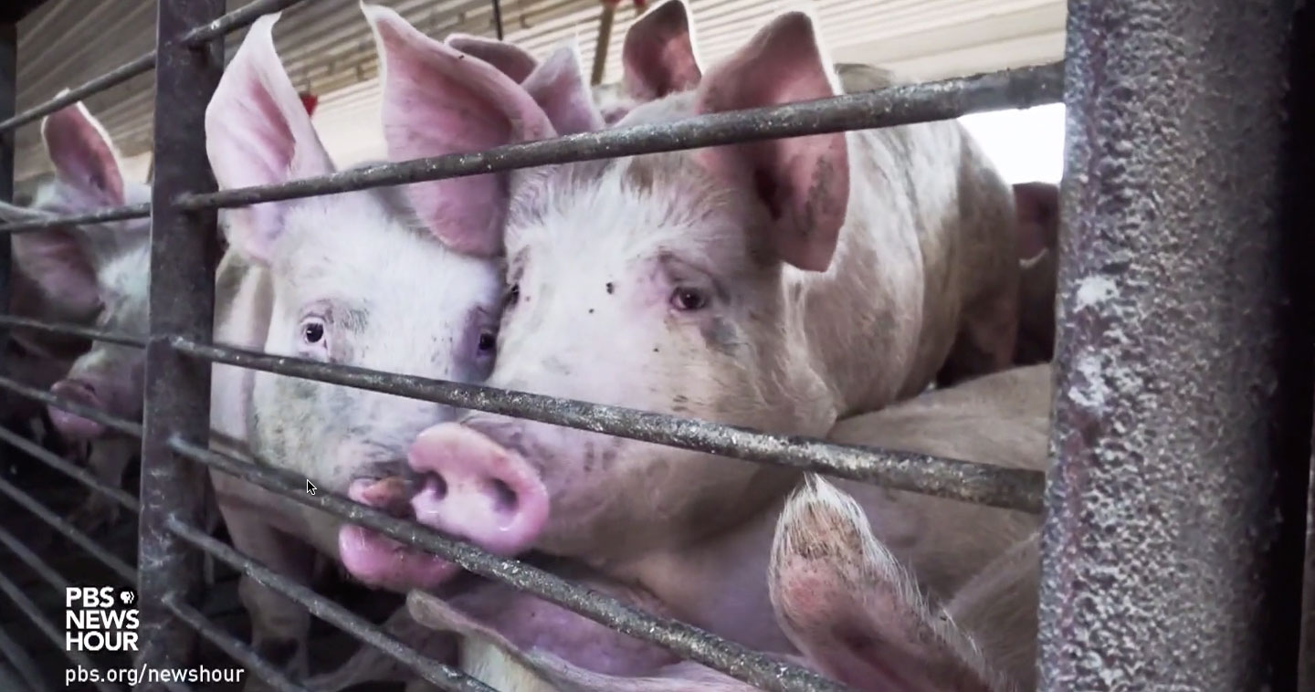 caged pigs to be killed