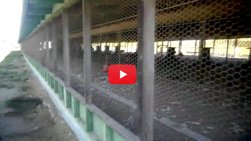 Watch the video of a visit to a turkey farm