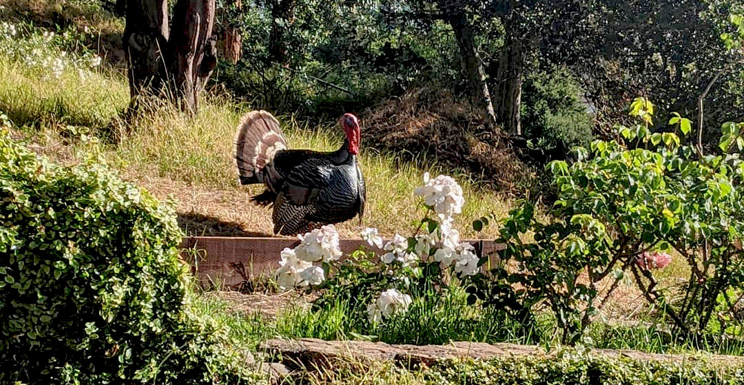 Gerald the turkey in the Rose Garden