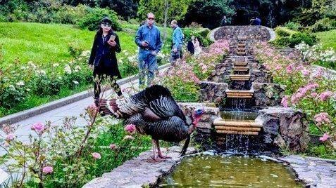 Gerald the turkey in the Rose Garden
