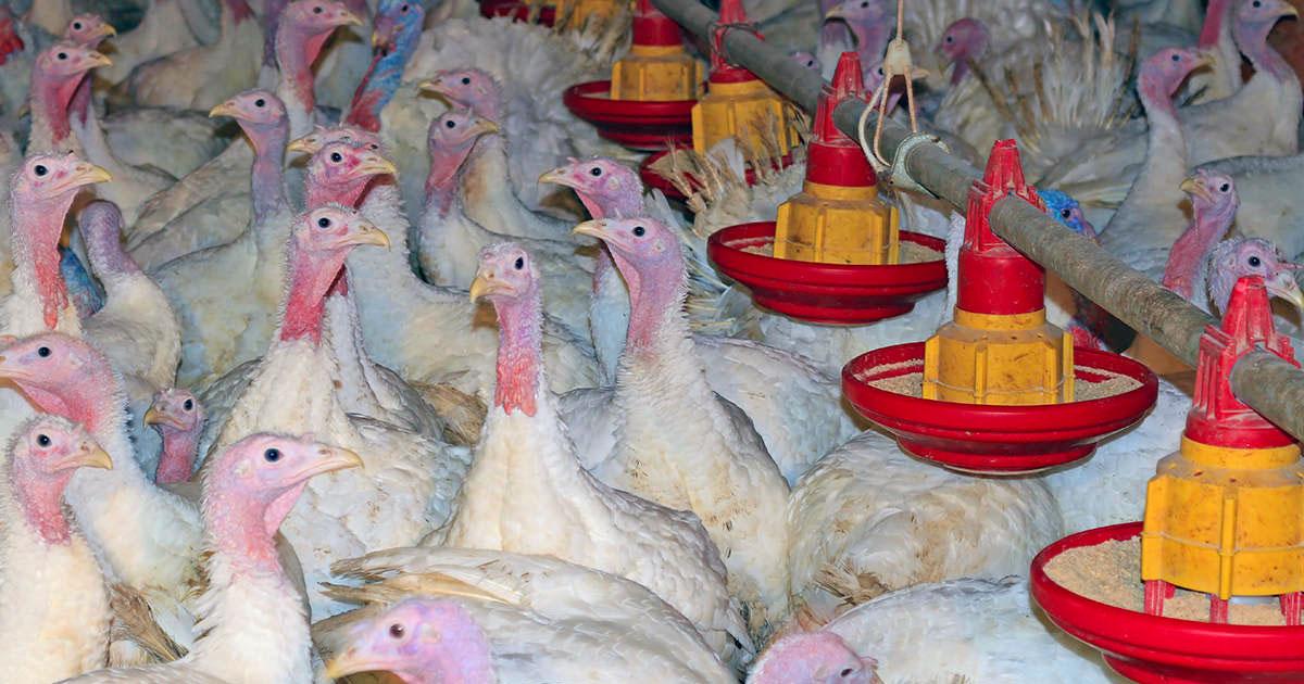 Thanksgiving turkeys endure extreme suffering
