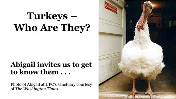 turkeys - whote are they